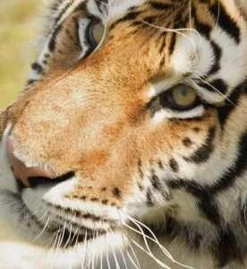 The Tiger Principle